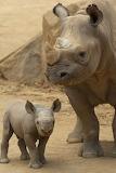 Rhino-duo
