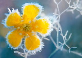 Yellow flower in frost