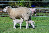 Sheep with lambs - for children