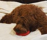 Red Dog-Rug On Bed