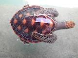 young sea turtle, Maldives