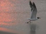 rose dawn gull
