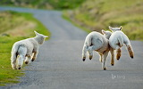 Lambs frolicking in Christchurch. New Zealand