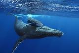 Baleine-Baleineau-La-Reunion-1196x800