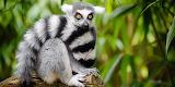 Lémurien de Madagascar -2-