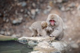 Monkey mom with baby in the thermal pool