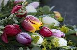Tulips Closeup Drops Ice 541170 1280x823