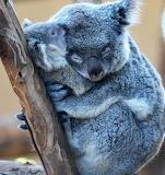 Koala and cub