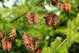 Spruce Pine cone 555136 1280x853