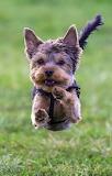 Dog flying through the air