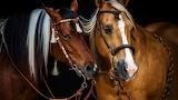 Beautifully Tasseled horses