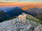 Glacier Park Mtn Goat