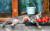 cat sleeping on tomatoes