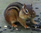 Animals - Chipmunk