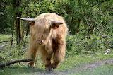 Icelandic cow
