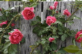 Leaves, flowers, roses, fence