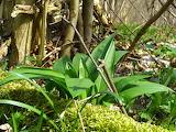 healthy food-bears garlic (allium ursinum)