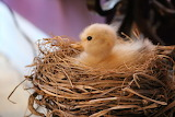 Baby Chick by Olivia Colacicco