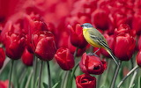awesome red tulips and bird
