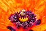 Poppy, flower, stamens, detail, snails, animals, nature