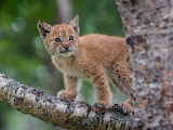 Lynx kitten in the tree