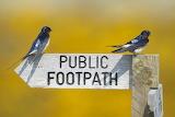 Barn Swallows on a footpath sign ©Neil Aldridge
