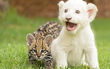 Animals Wild cats Young white tiger and ocelot 108073