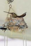 Hummingbird nesting on top of wind chimes