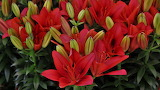 ^ Red lilies