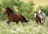 Horses, field, white, summer, grass, trees, flowers, meadow, run