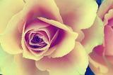 Roses-4612475 340