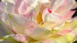 The petals of Magnolia