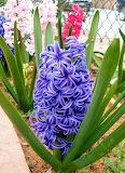 Flores239