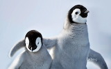 Emperor penguin chicks on Snow Hill Island. Antartica