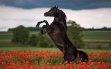 ^ Black horse jump, poppy flowers