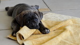 PUPPY WITH THROW RUG.