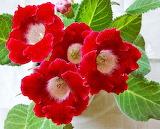 Red polyanthus