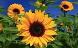 ☺ Sunflowers...
