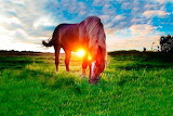 horse in the meadow sunset