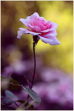 One Pink Rose...