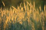 Wyzłocone pszenicą