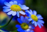 #Blue Flowers
