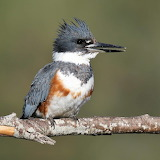 Belted Kingfisher female Palouse River Idaho
