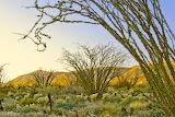 anza borrego desert ocotillo