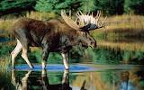 Free-moose