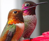 ^ Gorgeous Male Allen's and Male Anna's Hummingbirds