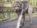 Slightly wet Irish Wolfhound taking a walk