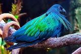 Pigeon coloré