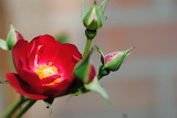Rosa Multiflora 2