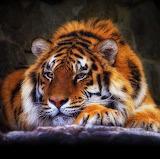 Gorgeous Tiger...